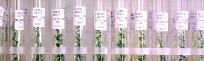 Reagenzgläser mit Pflanzenzellkulturen, 204x62