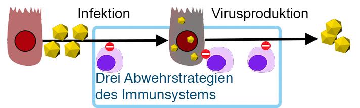 Strategien des Immunsystems